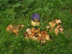 golden-bear-chanterelles