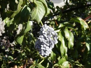 elderberriesforferalkevin